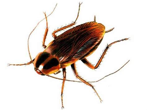House Roaches by How To Get Rid Of Roaches