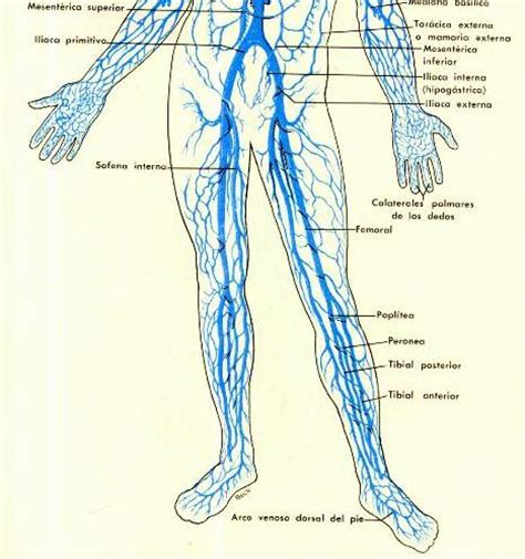 vena iliaca interna medicnet anatomia sistema venoso