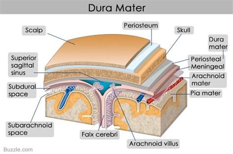 diagram mata 17 best ideas about dura mater on