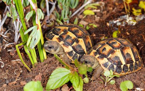 tartaruga di terra alimentazione le tartarughe informazioni alimentazione e salute delle