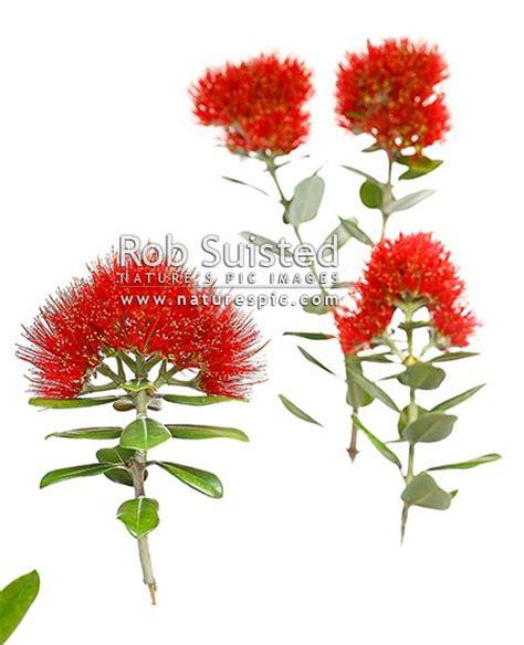 flower wallpaper nz red pohutukawa flowers myrtaceae metrosideros excelsa