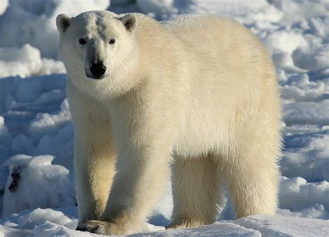 Bears White a sea kayak expedition in east greenland s ammassalik region polar bears