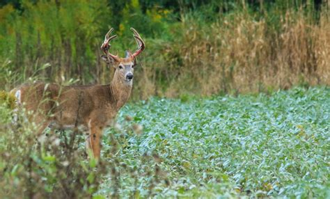 Whitetail Shed by Whitetail Buck Shedding His Velvet Outdoor