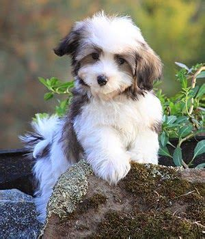 small hypoallergenic breeds 17 best ideas about hypoallergenic breed on hypoallergenic puppies