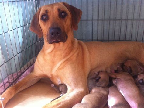 rhodesian puppy rhodesian ridgeback german shepherd mix puppies for sale breeds picture