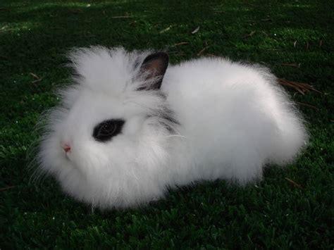 conigli nani alimentazione coniglio nano testa di conigli nani