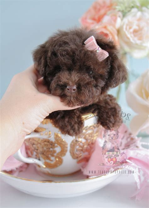 chocolate poodle puppies for sale tiny poodle puppies for sale teacups puppies boutique