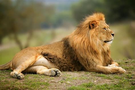 imagenes la leones imagenes de leones abril 2013