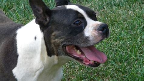 boxer terrier puppies boston terrier boxer mix animals