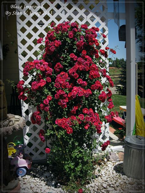when to plant climbing roses roses on structures how to a climbing
