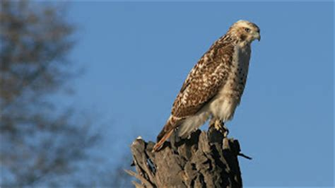 from the tennessee plateau here is a quick hawk