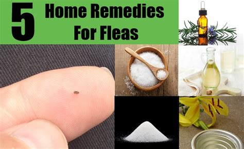 dog fleas in house top 5 home remedies for fleas top diy health home remedies