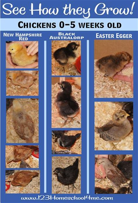 raising chickens 101 bring up baby chicks the old backyard chickens 101 chicks growing up fast baby