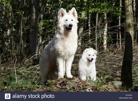 swiss shepherd puppies boy with german shepherd wallpaper