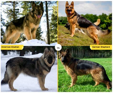 american german shepherd 11 breeds like the german shepherd