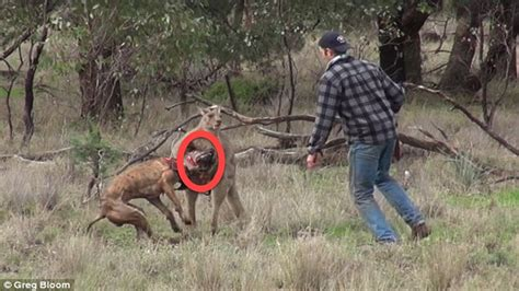 kangaroo with in headlock kangaroo grabs a in a headlock before the pooch s owner comes to his rescue by