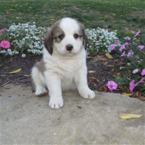 great pyrenees puppies for sale in pa great pyrenees mix puppies for sale