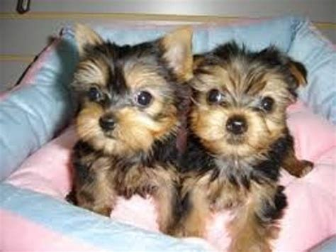 yorkies for sale in wisconsin teacup yorkie puppies for for sale in port of spain fiwiclassifieds
