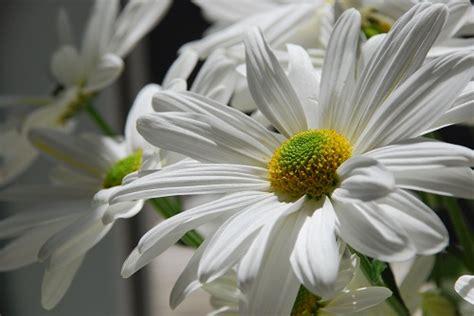 pratolina fiore significato dei fiori la pratolina pollicegreen