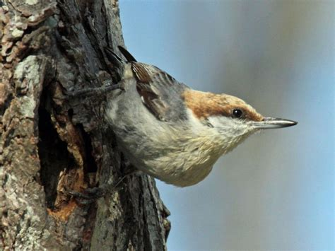 birds of the world nuthatches