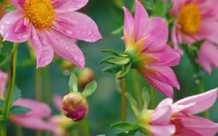 hd flower images flowers for flower lovers desktop beautiful flowers hd wallpapers