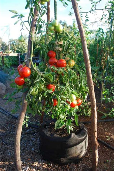 best tomato plants for container gardening growing tomatoes in containers growing tomatoes in pots