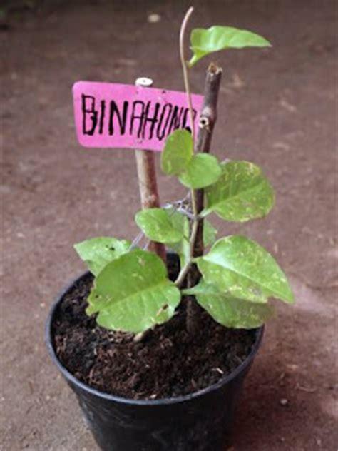 Obat Binahong khasiat tanaman obat binahong obat tradisional