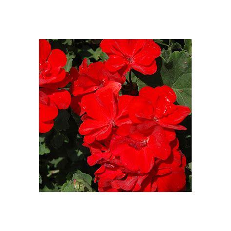 jardiniere pas cher 1442 acheter geranium droit really pas cher