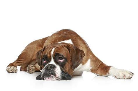 bloat in puppies bloat in dogs how to prevent this deadly condition wagbrag