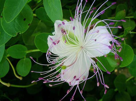 fiore di cappero fiore di cappero foto immagini piante fiori e funghi