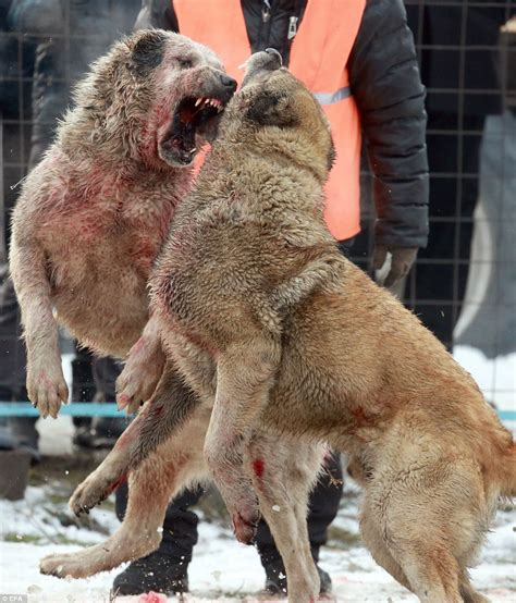 puppy yelping blood stained wolfhounds battle it out in kyrgyzstan
