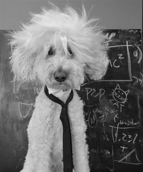 halloween haircut designs 25 best ideas about goldendoodle haircuts on pinterest