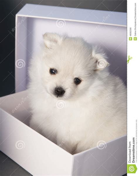 puppy in a box puppy white german spitz in a white box stock photo image 48582306