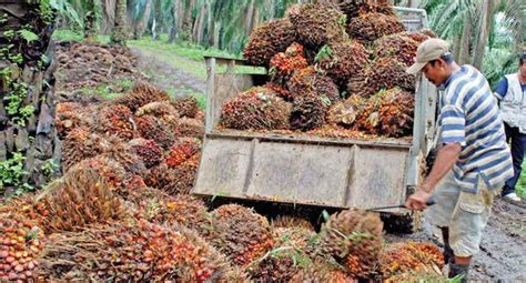 Minyak Kelapa Sawit Per Kg berita sawit harga tbs jambi periode 27 mei 2 juni turun