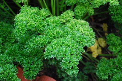 parsley curly   plants garden supplies