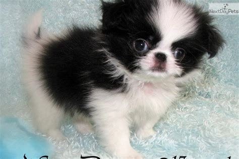 japanese chins japanese chin puppies japanese chin photo gallery pictures of japanese chins