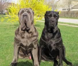 mastiff colors how much do you about mastiffs quiz
