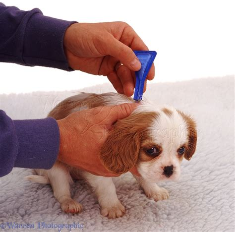 puppy flea medicine puppy flea treatment photo wp05474