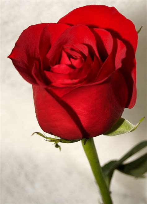 wallpaper for walls with roses lovely red rose wallpapers walls hub