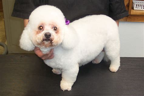 how to give a bichon a puppy cut puppy world maltese pictures puppy cut