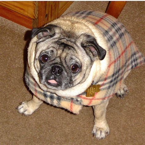 pug help pug help me out my winston s pug friends