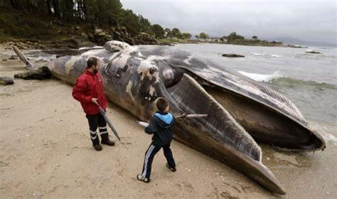 news today la ballena varada en muros llevaba tiempo comer