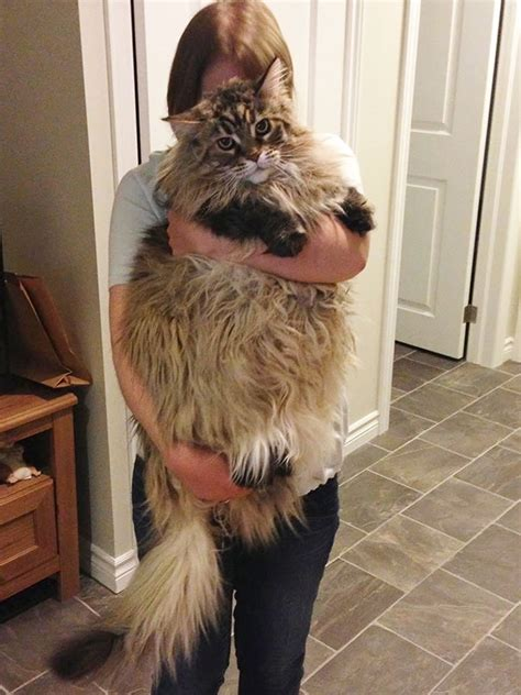 21 Maine Coon Cats That Will Make Your Cat Look Tiny by
