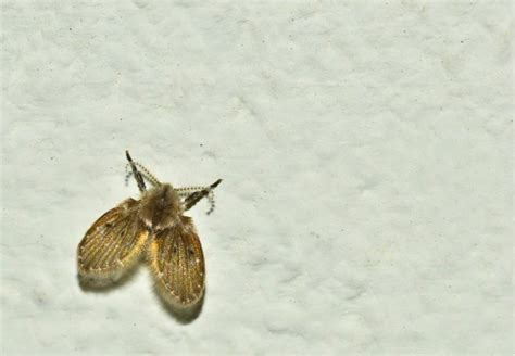 tiny moths in my bathroom how to get rid of drain flies bob vila