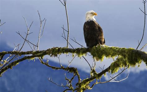 pictures of bald eagle hd wallpapers eagle hd pictures eagle images