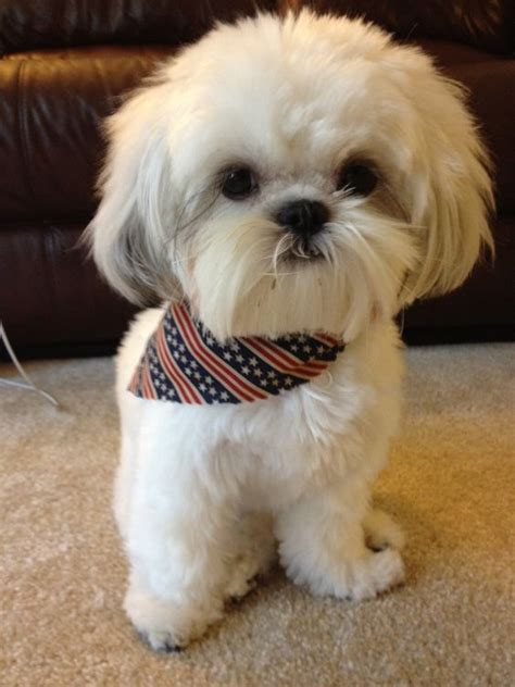 how big can a shih tzu grow how big will your shih tzu grow shih tzu daily