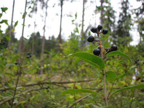 wann liguster pflanzen liguster wildfind