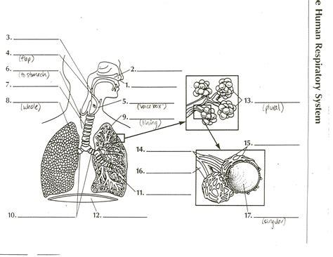 respiratory system blank diagram