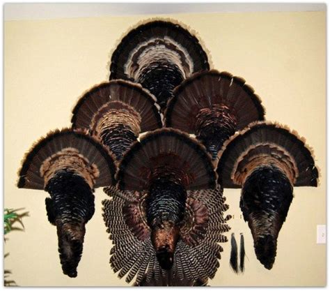 Cape Turkey how to skin prepare and display a turkey cape mount