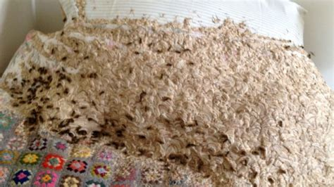 wasp in my bedroom giant wasp nest discovered in bedroom cbbc newsround